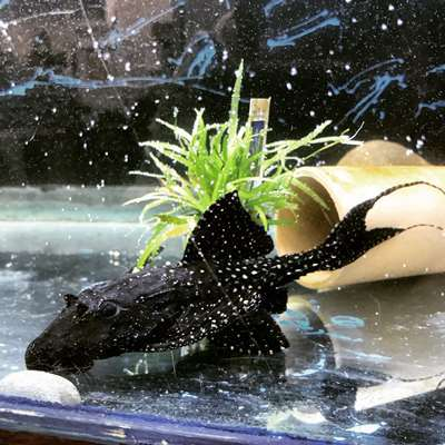 L253 Black Royal Goldie Pleco